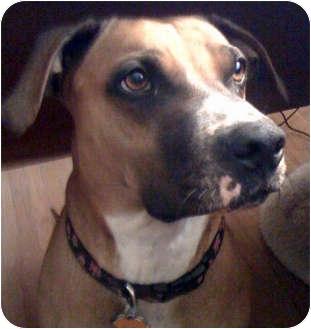 Boxer/Rhodesian Ridgeback Mix Dog for adoption in Oklahoma City, Oklahoma - Mona