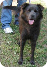 Retriever (Unknown Type)/Chow Chow Mix Dog for adoption in Charlotte, North Carolina - Iris