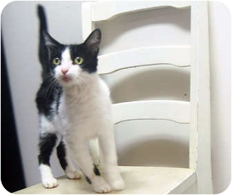 Domestic Shorthair Cat for adoption in San Clemente, California - CHER