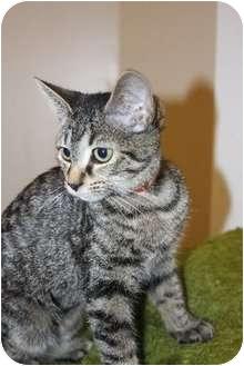 Domestic Shorthair Cat for adoption in Medina, Ohio - Nikki