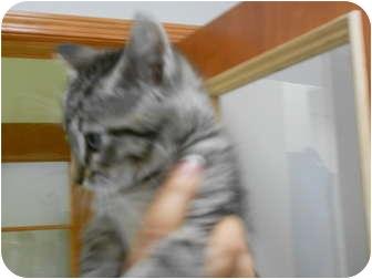 Domestic Shorthair Kitten for adoption in Powder Springs, Georgia - Simbi - 8 weeks old