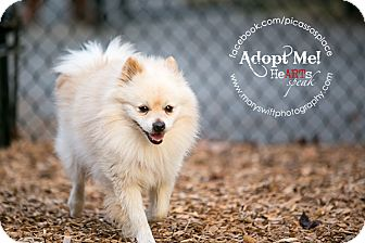 Pomeranian Dog for adoption in Myersville, Maryland - Johnny