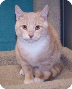Domestic Shorthair Kitten for adoption in Colorado Springs, Colorado - K-Eva1-Aaron