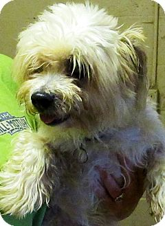 Shih Tzu/Poodle (Miniature) Mix Dog for adoption in Oswego, Illinois - Petey