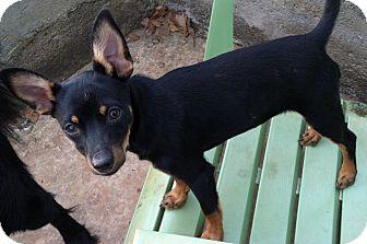 Miniature Pinscher/Manchester Terrier Mix Puppy for adoption in Smyrna, Georgia - Gypsy