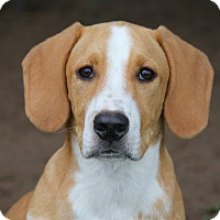 Adopt A Pet :: *Woody - PENDING - Westport, CT