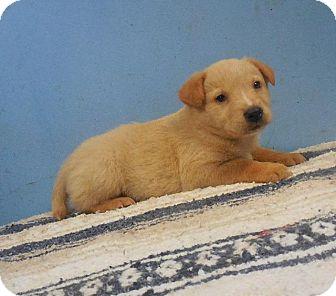 Shepherd (Unknown Type) Mix Puppy for adoption in Danbury, Connecticut - Banner