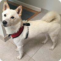 Adopt A Pet :: Yuki - Centennial, CO