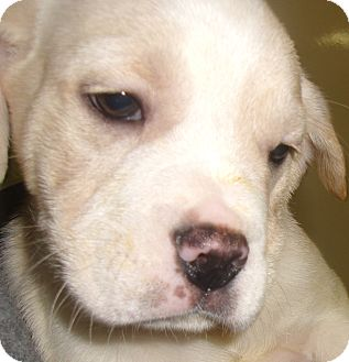 American Bulldog/French Bulldog Mix Puppy for adoption in Coudersport, Pennsylvania - BOB