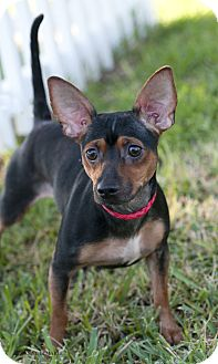 Miniature Pinscher/Chihuahua Mix Dog for adoption in Allentown, Pennsylvania - Lucy the tiny min pin