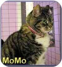 Domestic Shorthair Cat for adoption in Aldie, Virginia - MoMo