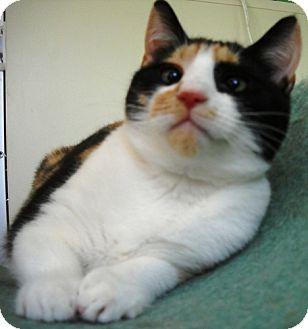 Calico Kitten for adoption in Port St. Joe, Florida - CALLIE