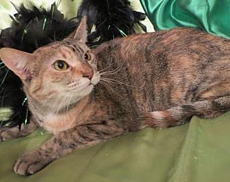 Domestic Shorthair Cat for adoption in St. Louis, Missouri - Millie