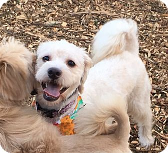 Poodle (Miniature)/Schnauzer (Standard) Mix Dog for adoption in Va Beach, Virginia - Henry
