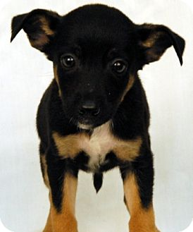 Terrier (Unknown Type, Medium) Mix Puppy for adoption in Newland, North Carolina - Gazoo