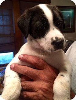 Labrador Retriever Mix Puppy for adoption in waterbury, Connecticut - Riggs & Murtaugh