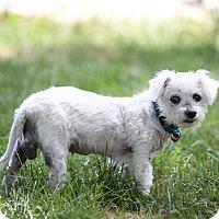 Adopt A Pet :: Sugar - Troy, MI