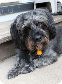 Scottie, Scottish Terrier/Schnauzer (Miniature) Mix Dog for adoption in Wichita, Kansas - Toby