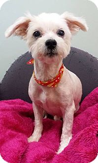 Maltese/Yorkie, Yorkshire Terrier Mix Dog for adoption in Lawrenceville, Georgia - Freddy