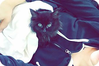 Domestic Longhair Kitten for adoption in Morristown, New Jersey - Mystic