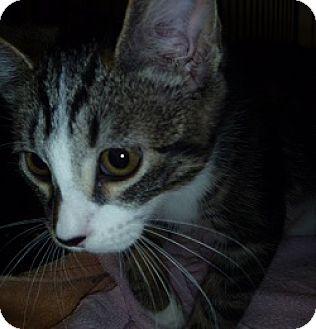 Domestic Shorthair Kitten for adoption in Hamburg, New York - Baldrick