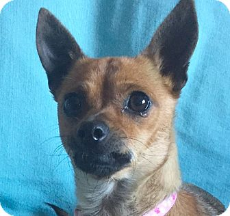 Miniature Pinscher/Terrier (Unknown Type, Small) Mix Dog for adoption in San Francisco, California - Foxy