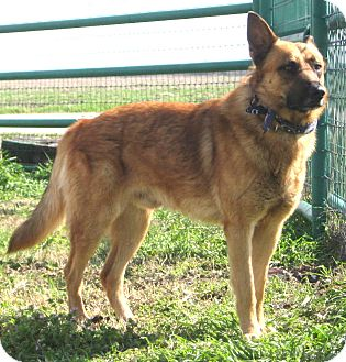 German Shepherd Dog Mix Dog for adoption in Pilot Point, Texas - Pancho