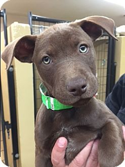 Australian Cattle Dog Mix Puppy for adoption in Divide, Colorado - Casey