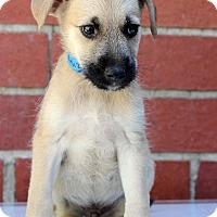 Adopt A Pet :: Kruz - Waldorf, MD