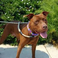 American Pit Bull Terrier Mix Dog for adoption in Huntington Beach, California - RUBY