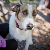 Adopt A Pet :: CLEO - Converse, TX