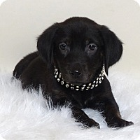Adopt A Pet :: Harmony - Kerrville, TX