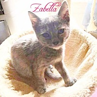 Adopt A Pet :: Zabella (Bottle Baby) - York, PA