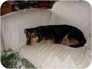 Beagle Mix Dog for adoption in Cincinnati, Ohio - Darla