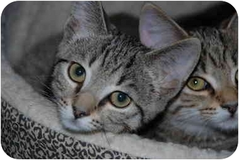 Domestic Shorthair Kitten for adoption in Putnam Hall, Florida - Buttons