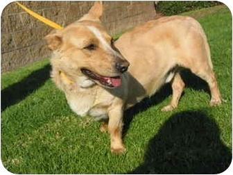 Corgi Mix Dog for adoption in El Cajon, California - Billy