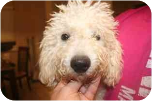 Bichon Frise Mix Dog for adoption in Arlington, Texas - Ritchie