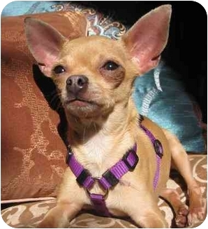 Chihuahua Dog for adoption in Encino, California - HULA the Tiny Chi