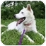 """Photo 2 - Siberian Husky/Shepherd (Unknown Type) Mix Dog for adoption in Various Locations, Indiana - """"Celine is Urgent"""""""