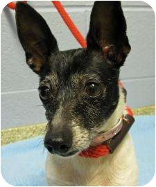 Rat Terrier/Chihuahua Mix Dog for adoption in Munster, Indiana - Chandra