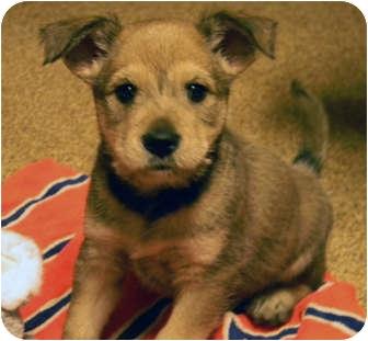 German Shepherd Dog/Terrier (Unknown Type, Medium) Mix Puppy for adoption in Marietta, Georgia - Sydney