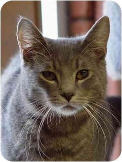 Domestic Shorthair Cat for adoption in Mason City, Iowa - Heckyl