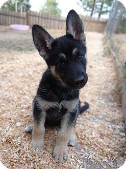 Husky/German Shepherd Dog Mix Puppy for adoption in Salem, Oregon - Lucy