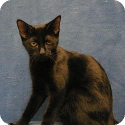 Domestic Shorthair Cat for adoption in Sacramento, California - Alan