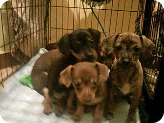 Miniature Pinscher/Chihuahua Mix Puppy for adoption in Lynnwood, Washington - PUPPIES (8 wks old)