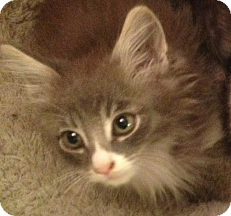 Domestic Mediumhair Kitten for adoption in Los Angeles, California - Andy- tiny fluffy lion face