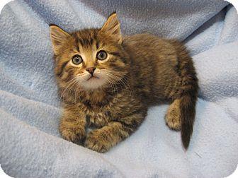 Domestic Longhair Kitten for adoption in Eagan, Minnesota - Winter