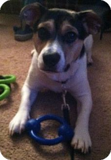 Jack Russell Terrier/Rat Terrier Mix Puppy for adoption in Bridgewater, New Jersey - Archie