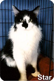 Domestic Mediumhair Cat for adoption in Medway, Massachusetts - Star