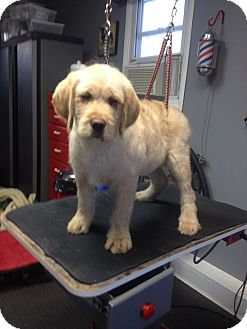 Labradoodle Mix Puppy for adoption in Mount Royal, New Jersey - Labradoodle (adoption pending)